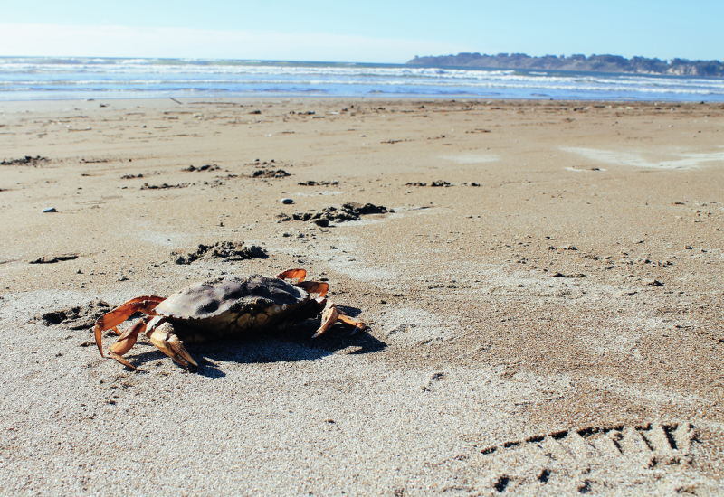 Stinson Beach Crab
